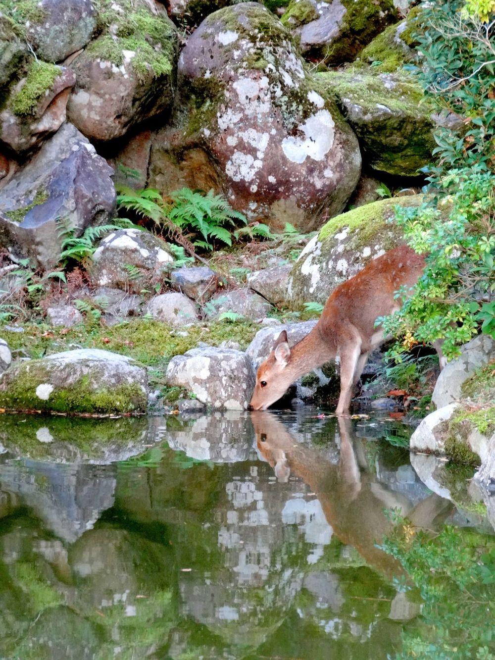 Los bebes ciervos de Nara se presentan por primera vez al público